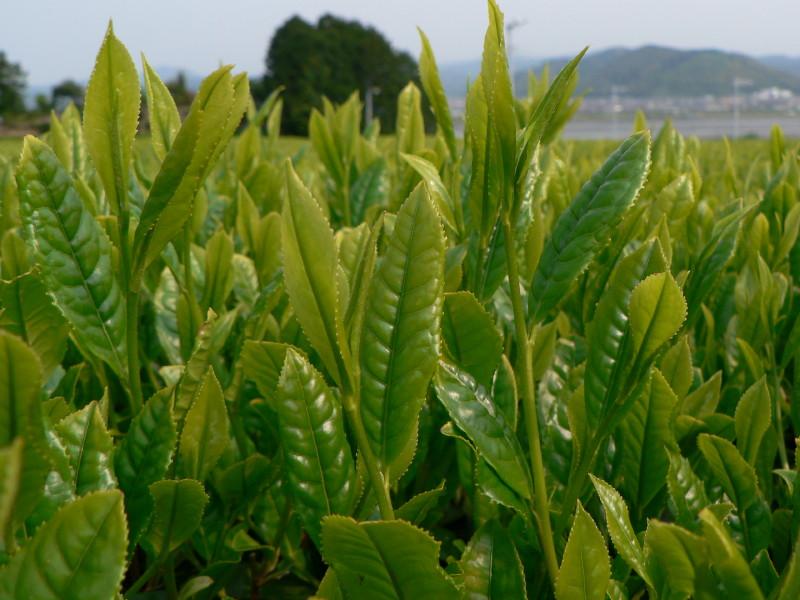 緑茶の渋みの主成分「カテキン」の効果・効能!